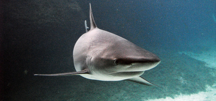 Can sharks smell pee?